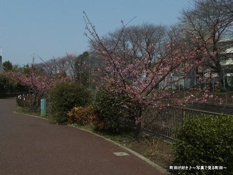 20130310012恩田川のサクラ