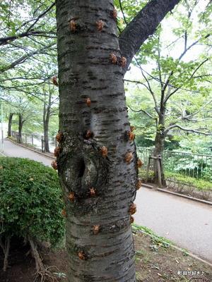 20100808009セミ(蝉)の抜け殻