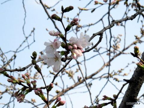 2016032008恩田川の桜