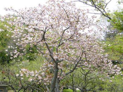 20090418164.jpg 薬師池公園 ヤエザクラ(八重桜)