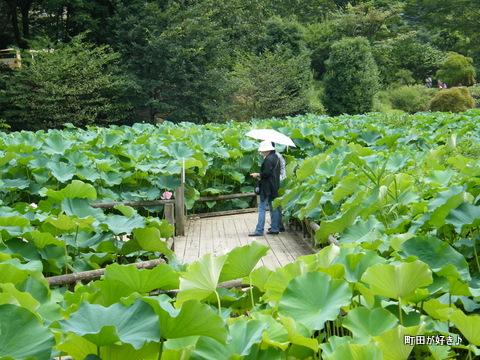2010081372薬師池公園の大賀ハス