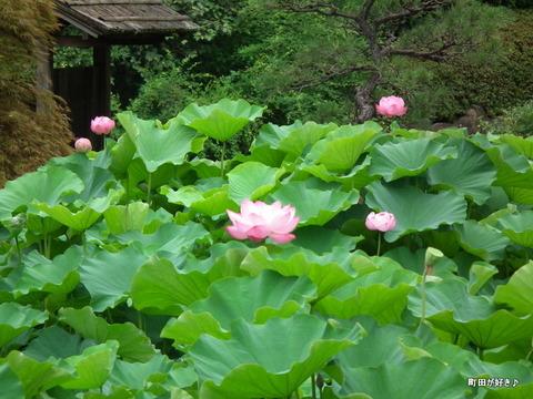 2012072214薬師池公園の大賀ハス