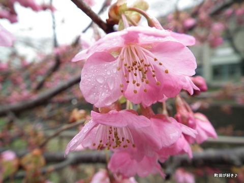 2012032427南大谷中まえの早咲きの桜