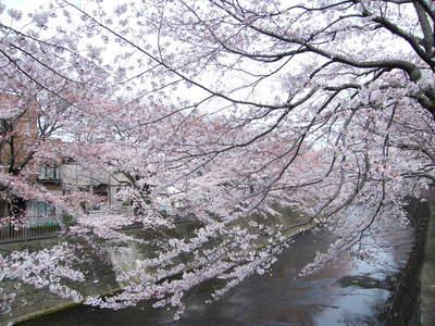20090404054.jpg 恩田川の桜が見頃です