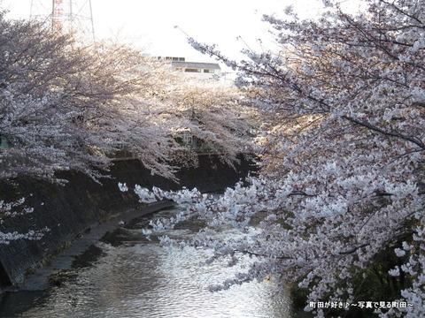 20140330035恩田川沿いの桜並木