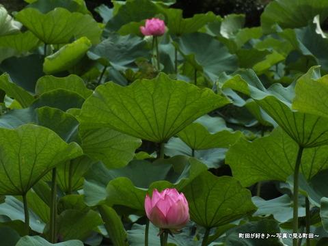 2013070609薬師池公園の大賀ハス