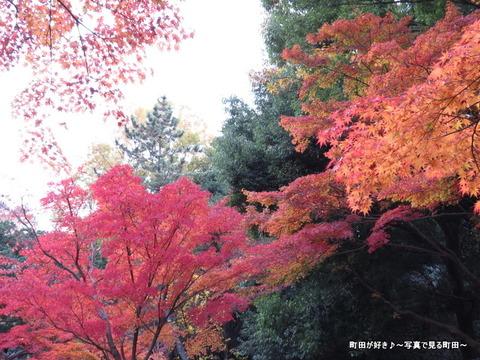 2014112318紅葉@町田市・芹ヶ谷公園
