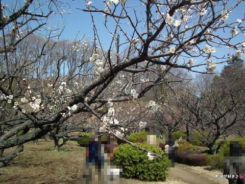 2012032033薬師池公園の梅の花