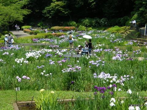 20100612201薬師池公園<ハナショウブ>