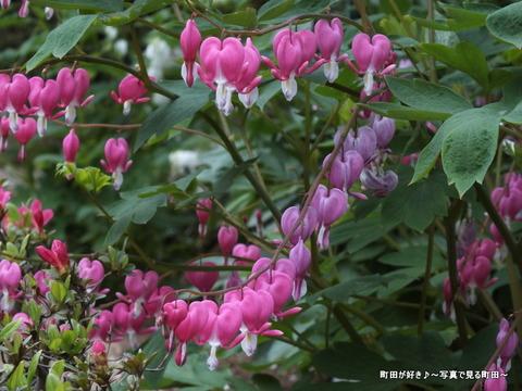 20130420159町田ぼたん園