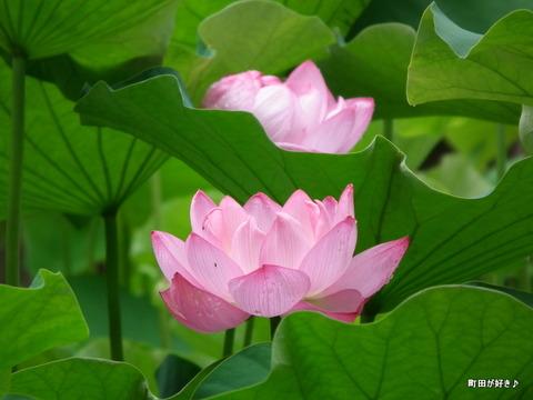 2012072213薬師池公園の大賀ハス