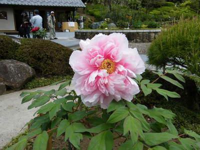 20090418103.jpg 町田ぼたん園 牡丹