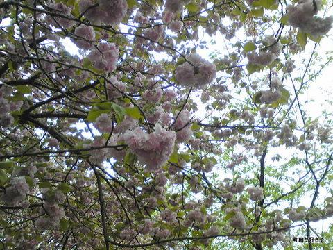 2010042906八重桜)里桜)牡丹桜