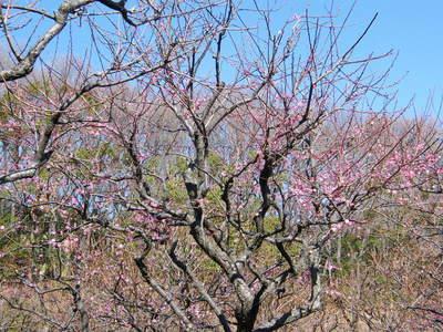 20090208047.jpg 薬師池公園の梅の花