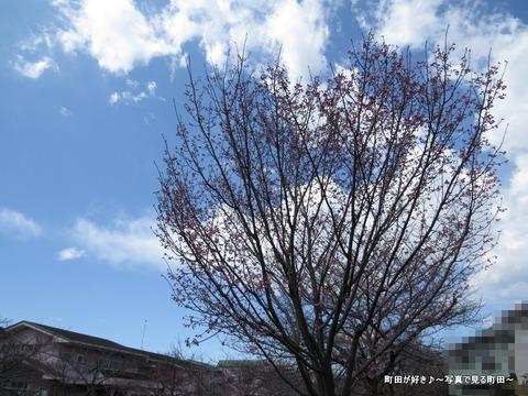2014032130恩田川沿いの早咲きのサクラ