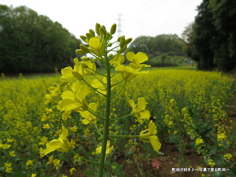 20140419092七国山の菜の花畑