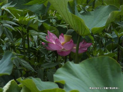 2013070624薬師池公園の大賀ハス