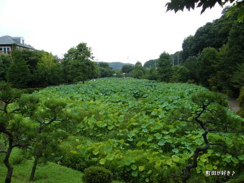 2010081341薬師池公園の大賀ハス