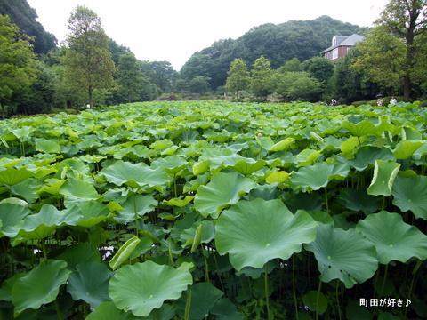 20100703098大賀ハス蓮ハス田薬師池公園