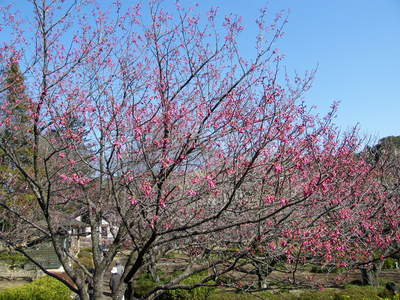 20090221058.jpg カンヒザクラ(寒緋桜)