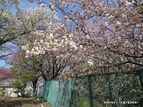 20140412012八重桜(ヤエザクラ)@城山公園(成瀬城跡)