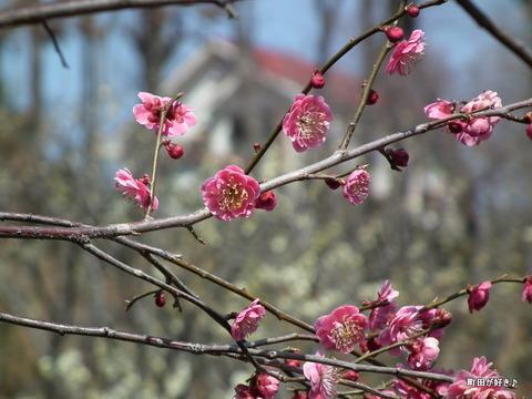 2012032037薬師池公園の梅の花