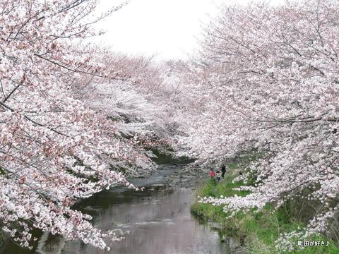 2016040245恩田川・高瀬橋付近の桜