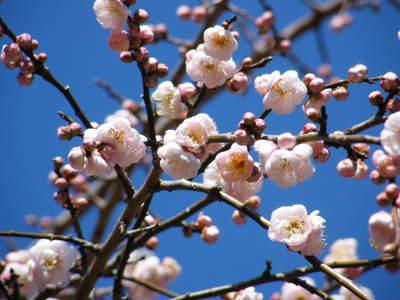 20090208041.jpg 薬師池公園の梅の花