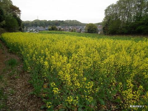 20120422062七国山の菜の花畑の様子