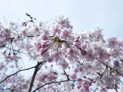 20100418112シダレザクラ(枝垂桜)
