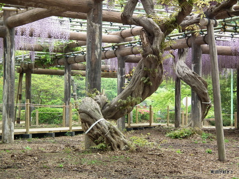 2011050627薬師池公園の六尺フジ
