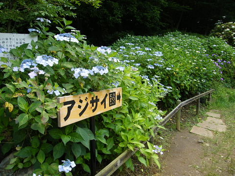 20090613116.jpg 薬師池公園アジサイ園