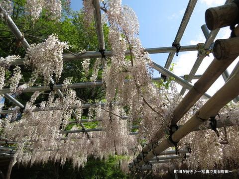 20140428142薬師池公園の藤の花