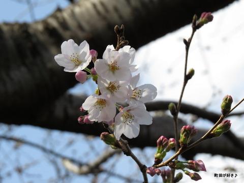 2016032012恩田川の桜