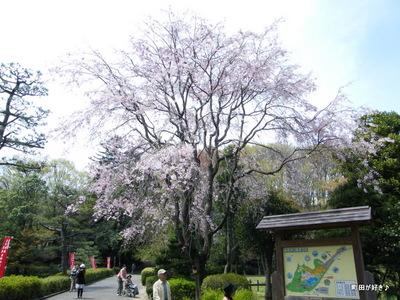 20100418111シダレザクラ(枝垂桜)