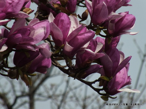 2013032064紫色のモクレンの花が満開です@恩田川