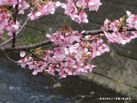 2014032155恩田川沿いの早咲きのサクラ