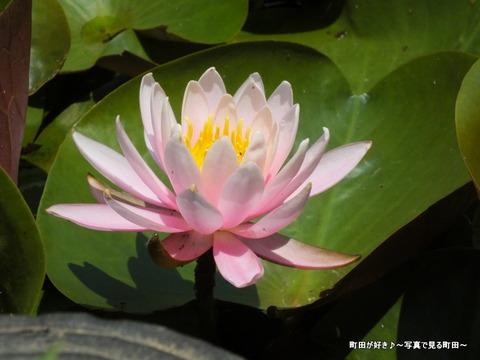 2013052666薬師池公園・睡蓮の池