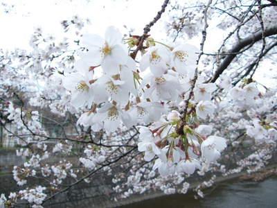 2009032812.jpg 恩田川の桜、1分咲きから3分咲き