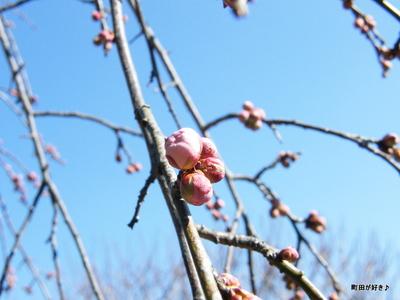 20100130027薬師池公園枝垂桜