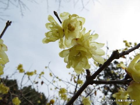 2014010438忠生公園のロウバイ