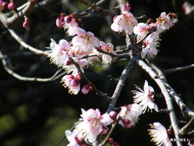 20100130076町田市本町田梅の花