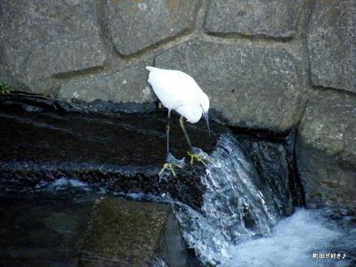 2010101112シラサギ(白鷺)恩田川