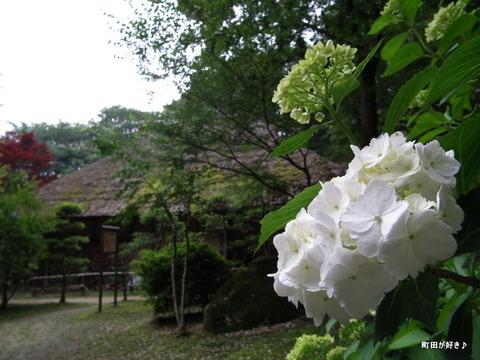 2011060545薬師池公園・紫陽花