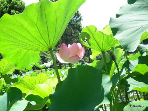 2011071654薬師池公園の大賀ハス