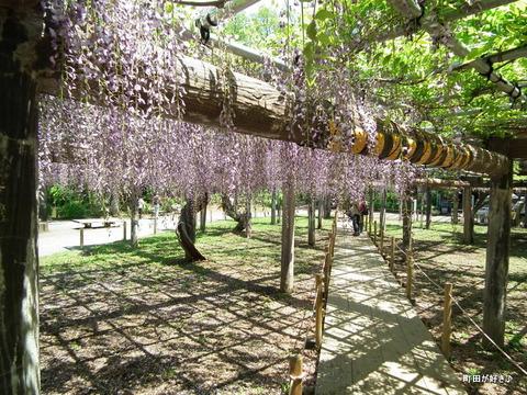 20120505170薬師池公園の藤の花