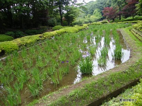 20100530042薬師池公園花菖蒲田