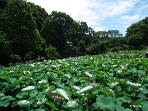 20110723028薬師池公園の大賀ハス