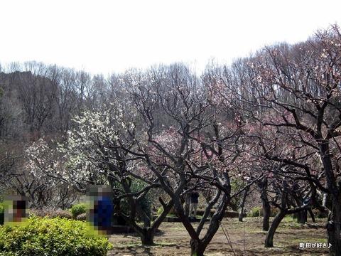 2012032032薬師池公園の梅の花