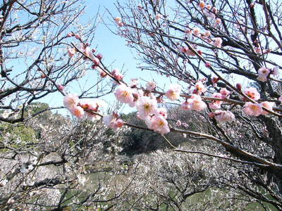 20090221048.jpg 薬師池公園の梅の花が見頃です